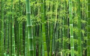 cara mencari bambu petuk
