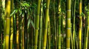 bambu patil lele