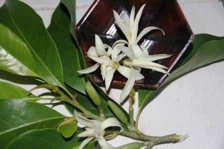 bunga cempaka putih