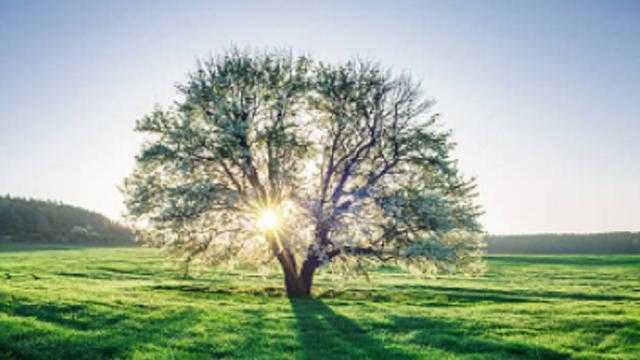 pohon naga sari
