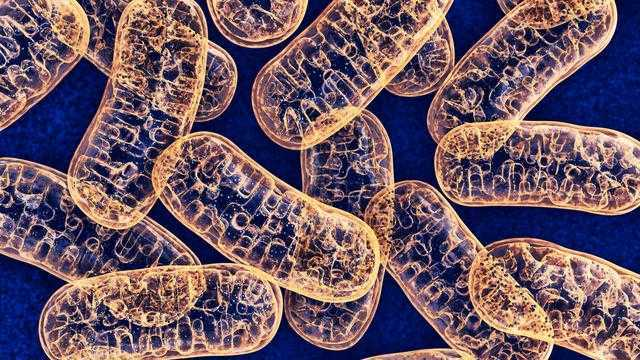 Contoh, Peranan, Ciri Ciri, Fungsi, Struktur Dan Pengertian Mitokondria Menurut Para Ahli