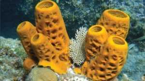 Contoh, Peranan, Klasifikasi, Struktur, Dan Pengertian Porifera Menurut Para Ahli