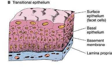 Pengertian Jaringan Epitel : Struktur, Ciri, Sifat Dan ...