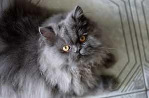 Kucing Anggora : Jenis, Ciri, Sifat, Harga Dan Gambar